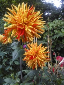 In 1939 The Arboretum created a Dahlia Border which can still be admired today.
