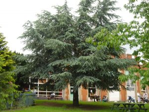 Blue Cedar next to Refreshment Rooms, 2006 Image: P Elliott
