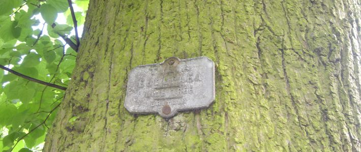 Original descriptive tally:  Common Lime Tree Image: P Elliott