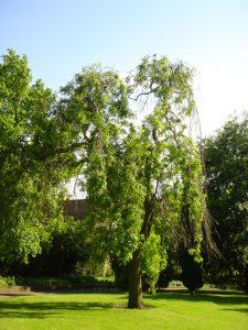 Wing Nut in Nottingham Arboretum Image: Paul Elliott