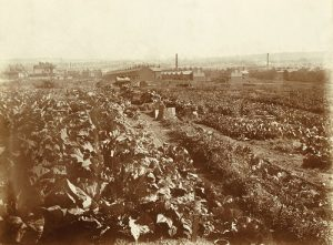 Food production on King Edward Park, Carlton Road, c1915. Nottingham City Council and www.picturethepast.org.uk